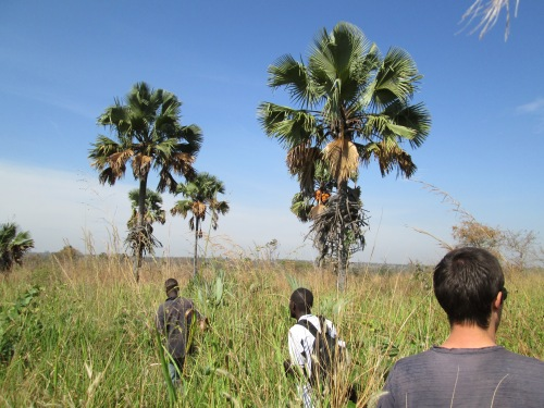 Palm trees in Lukodi.